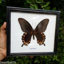Papilio Deiphobus Butterfly Real Moths Framed Insect Taxidermy Entomology Wings
