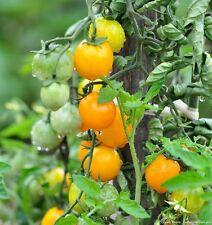 25 Graines de Tomate Cerise Jaune Gold Nugget Méthode BIO seeds plantes légumes
