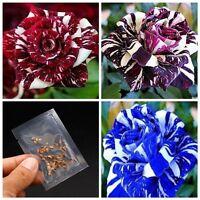 30PCS Rare Dragon Rose Flower Seeds Courtyard Perennial Plants Home Garden New