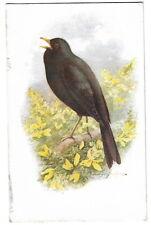 Bird Postcard J Salmon 887 Blackbird Artist drawn George Rankin