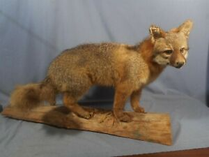 RARE Vintage/Antique Fox Mount Mounted Taxidermy on Wooden Base