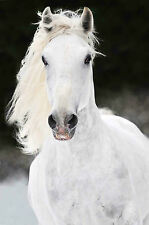 STUNNING WHITE HORSE PORTRAIT CANVAS #25 QUALITY FRAMED CANVAS PICTURE WALL ART