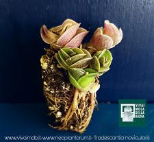 TRADESCANTIA NAVICULARIS alveolino 1 pianta 1 plant