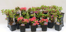 6 Mixed Dwarf Azalea Shrub Plants