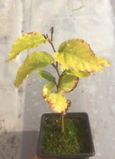 Beech Tree Seedlings / Saplings (Fagus Sylvatica)