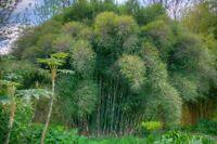 10 Graines Dendrocalamus Sericeus intérieur tropical bambou