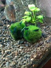 Marimo Moss Ball Live Aquarium Aquatic Shrimp Plant Buy 2 Get 1 Free