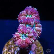 Twilight Merletti Blasto ~ Wysiwyg Live Coral Frag ~ World Wide Corals ~ #04