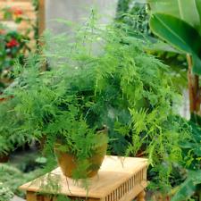 Asparagus Plumosus Indoor Plant - 1 x Live Potted Fern Houseplant In 12cm Pot