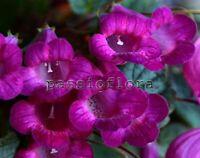 Smithicodonia HEARTLAND'S JOY rhizome African Violet kin