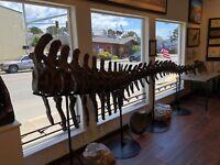 Dinosaur Tail, 15 feet long complete, Camarasaurus Grandis, Wyoming, RARE