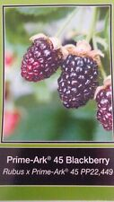 Prime-Ark 45 Blackberry Plant Healthy Home Garden Berry Plants Blackberries