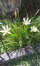 white rain flower bulbs with roots and leaves