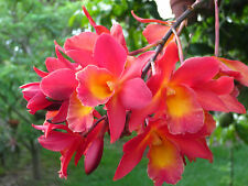 Ctph. Jamaica Fire - Bromocanthe Jamaican Fire orchid, Easy To Grow!