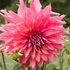 Dahlia Belle of Barmera, Dinnerplate Series, Rose Pink, Bare Root size #1 tuber