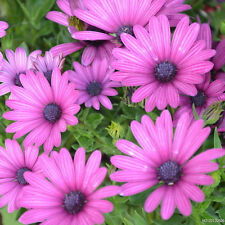Gerbera Daisy ( 100 Seeds ) Single Flowered Hybrids Mix all colors