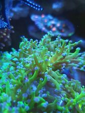 Ultra Branching Frogspawn Coral Live SPS LPS ULTRA x 1 head1