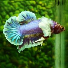 Live Betta Fish Purple Fancy Dumbo Ears HMPK Male from Indonesia Breede
