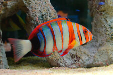 "Live Beginner Saltwater Fish - 7"" Australian Tusk - Marine Wrasse"