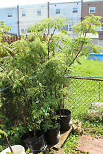 Curry Plant / Curry Plant Tree   ( 5 - 7 Feet)