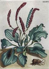 MARIA SIBYLLA MERIAN Blumen Insekten wunderschöner Kupferstich XXXVI 1730 ORIG.