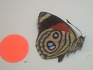 Real Butterfly/Insect/Moth Non Set B7728 Colourful Callicore hystaspes Peru