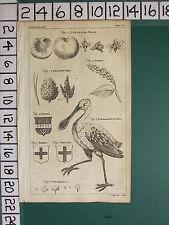 1754 antico stampa ~ persica pesche frutta ~ ABETE ~ spoon-bill Phytolacca