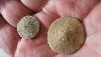 2 Scutella Caillaudi Erizos de Mar Fossil Eoceno Lutetien Madera Gouet - Francia
