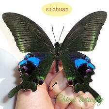 unmounted butterfly PAPILIONIDAE Papilio arcturus SUMMER FORM A1