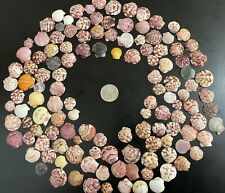 130 Mini Scallop Clam Shells