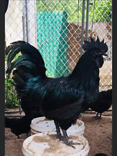 6extra Fertile Chicken Hatching Eggs Bloodline Ayam Cemani Greenfire Farms