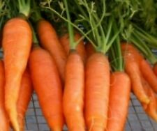Carrot Seeds- Touchon- French Heirloom- 500+ Seeds          $1.69 Shipping/order