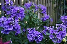Phlox Pan. 'Blue Paradise' (AGM) gorgeous exotic blue fragrant cut flowers 9cm