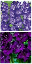 10 Purple Flowers Mix Gladiolus Large Flower Bulbs Perennial Clean 2 Colors