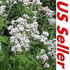 Eupatorium Seeds – Boneset G93, 300 Seeds, Eupatorium Perfoliatum Seeds