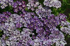 PHLOX Azúcar estrellas - 50 Semillas - IDEAL PARA cortadas flores - Anuales