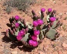 1 Cutting, Opuntia basilaris, Cactus, Beaver Tail Pink Flower Heart Prickly Pear