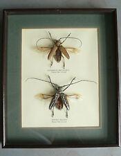 Insectos raros Papua New Guinea, rosenbergia mandibularis & batocera wellacei