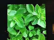 2 Stevia Plants, No Calorie Natural Sweetener Herb Well Rooted in a 4 Inch Pot.