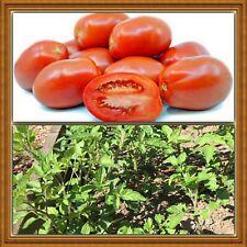 Italian Roma Tomatoes 50+ Qty Organic Seeds Free Ship from California