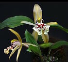 MINIATURE COELOGYNE SCHILLERIANA ORCHID SPECIES BLOOMING SIZE