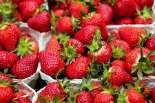 Strawberry Sashenka F1 Seeds large fruited perpetual red Ukraine 0.01 g