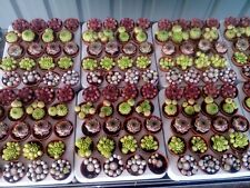 5 x Sempervivum Houseleek Hen & Chicks / Succulents Plants Mini (5.5cm Pots).