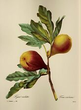 Vintage Redoute Botanical Fruit Print Fig Kitchen Gallery Wall Art pjr 1860