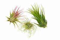 3 Tillandsia Air Plant Pack / FREE Care Guide / House Plants