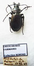 Carabus oreocarabus fairmairei (male A1 but was pinned) from FRANCE