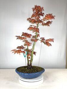 Japanese Maple Temperate Bonsai Plants Seedlings For Sale In Stock Ebay
