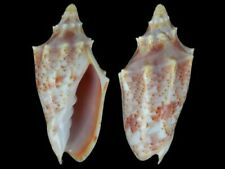Cymbiola pulchra peristicta - Shells from all over the World NEW!!!