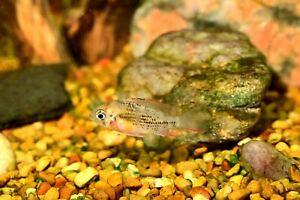 Live Bolivian Ram Cichlid Tropical Aquarium Fish Tank Raised Ready To Ship