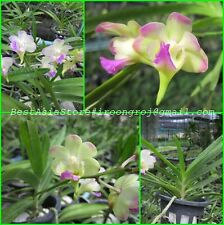 Nano Orchids Hybrid Plants: Chao Praya lawrenciae 3.5� pot size :Oc02